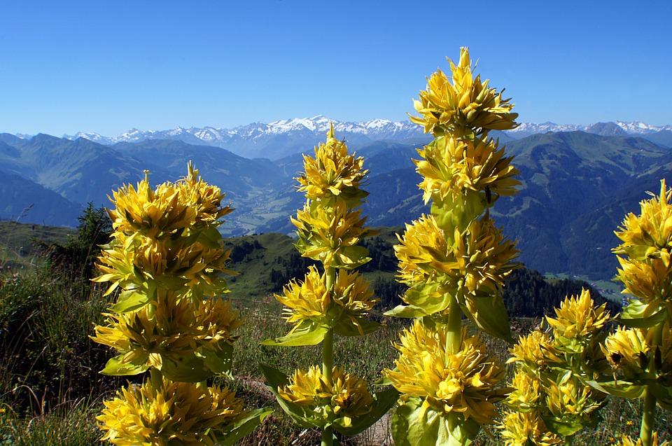 pianta di genziana--pianta di genziana gialla in montagna